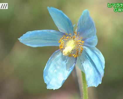 岡山市の半田山植物園 ヒマラヤの青いケシ咲き始める