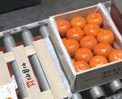 香川県オリジナルの温州ミカン「小原紅早生」の初競り