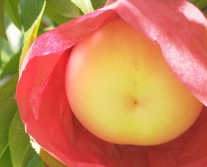 桃の収穫前に今シーズンの豊作祈願